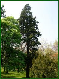 8. kép: Görög fenyő - Abies cephalonica