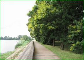 11. kép: - csörgőfa Koelreuteria paniculata