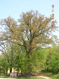 Сл.4.: Храст лужњак - Quercus robur L.