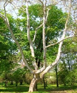 Сл.10.: Јаворолисни платан - Platanusacerifolia(Ait.) Willd.