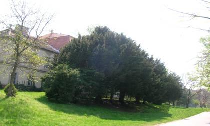 Сл. 2.: Дрворед тисе –  TaxusbaccataL.
