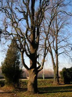Сл.5.: Храста лужњака пирамидалне форме - QuercusroburL. f. fastigiata